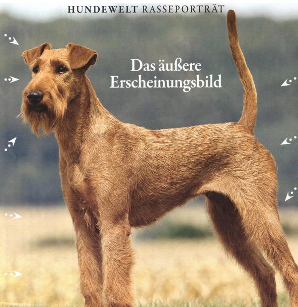 Irish Terrier - Der robuste Ire ist tapfer und intelligent